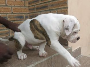 Pure BULL Dog/puppy For Sale