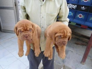 Pure French Mastiff Dog/puppy For Sale