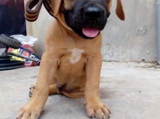 Pure Boerboel Dog/puppy For Sale call 08104035288