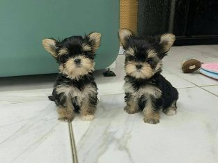 7 weeks old Yorkie pups for sale..I can do delivery